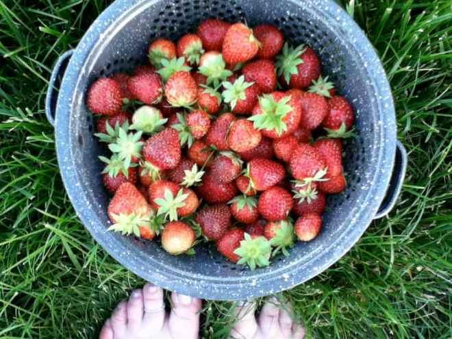 2013 strawberries