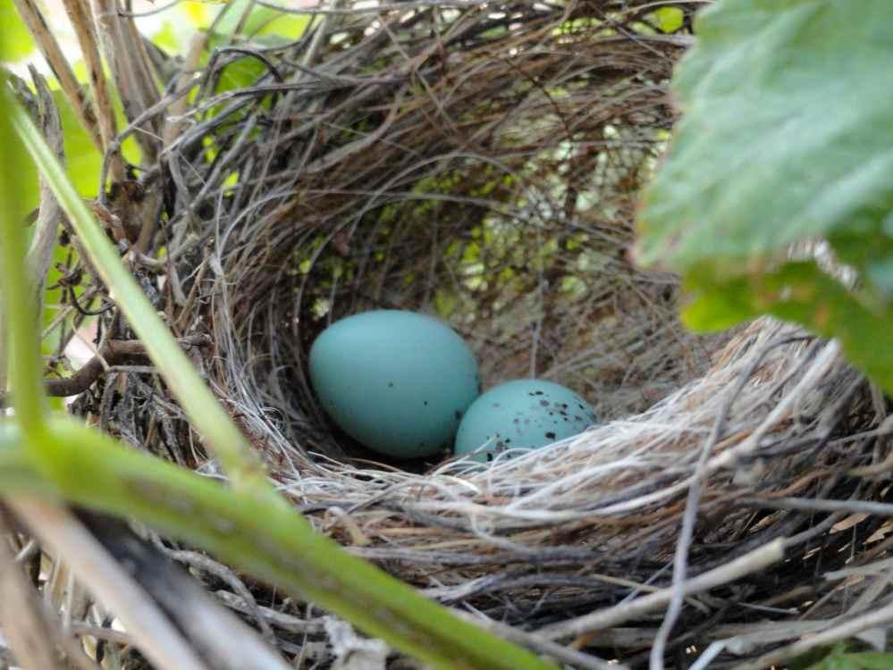 not hummingbird eggs