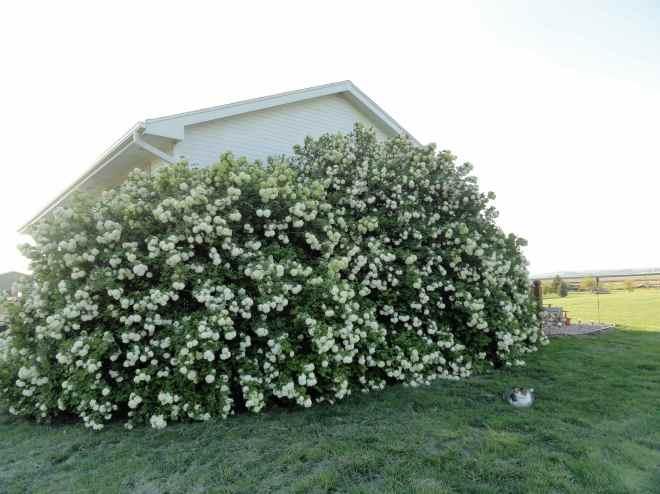 snowball bush 4