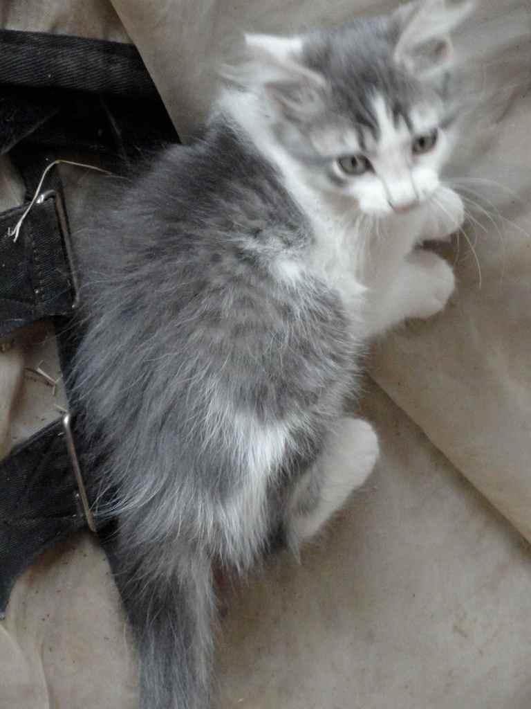 grey kitteh