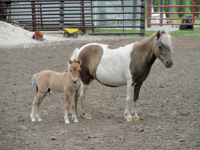 shetland pony baby 2