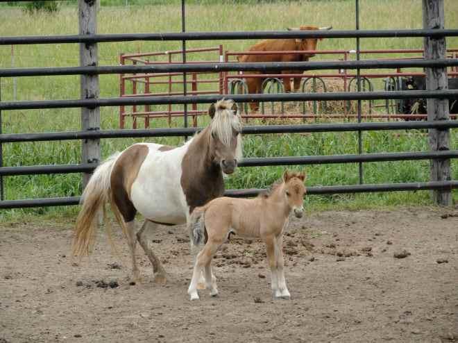 shetland pony baby